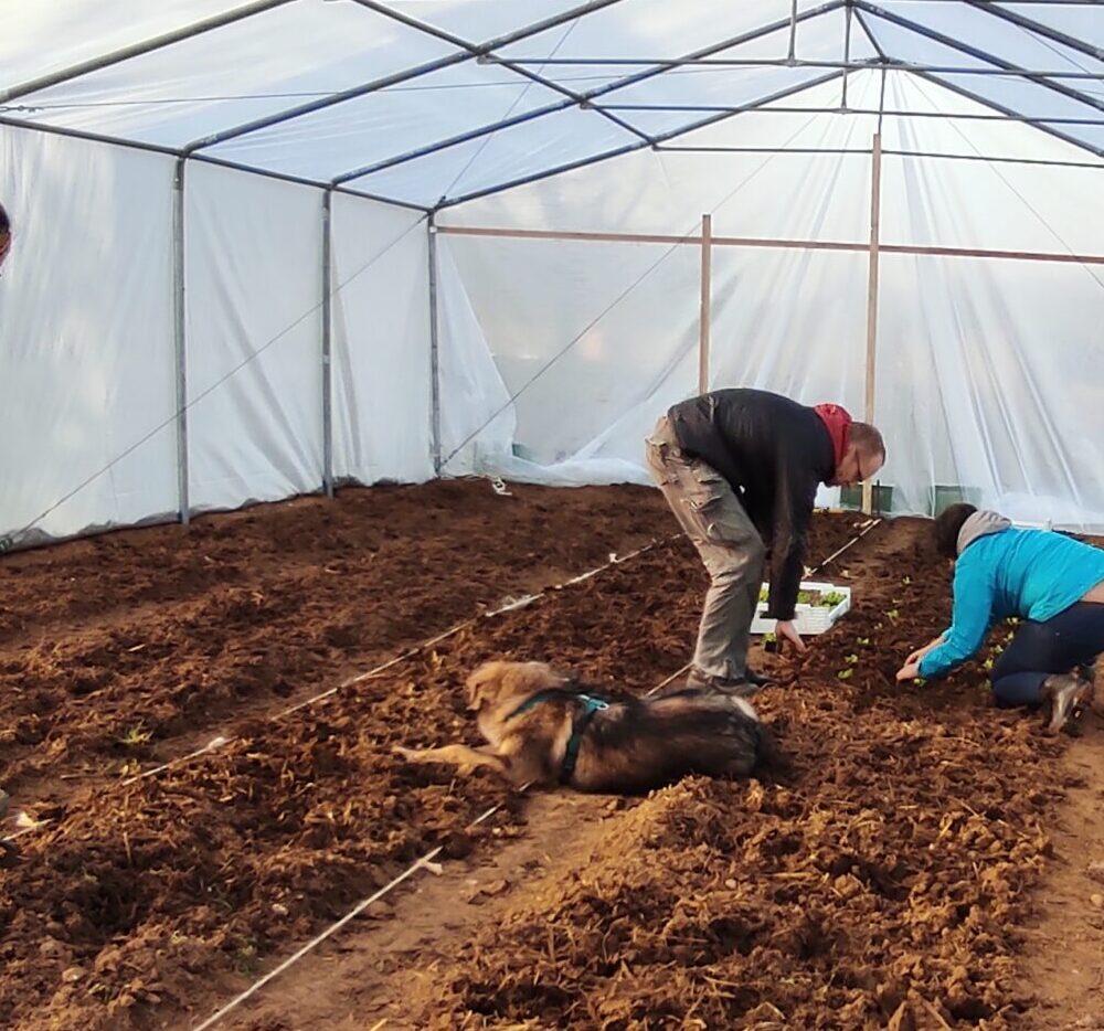 Nina und Solawi-Mitglieder arbeiten im Gewächshaus